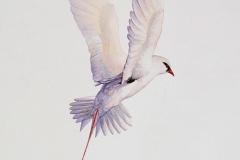 Tropikvogel (Australian Geographic Magazine)